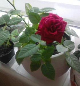 Роза комнатная карликовая
