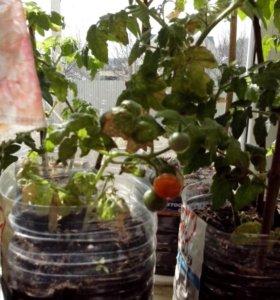 Рассада комнатных помидоров
