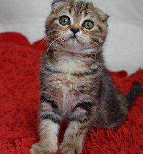 Продаётся шотландская вислоухая кошка