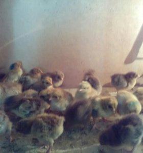 Чыплята породы Кучинская Юбилейная 30 суток.