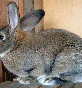 Кролики (только самки)