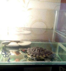 Красноухая черепаха вместе с аквариумом