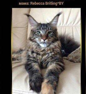 Кошка Мейн Кун 89194266638 Лариса