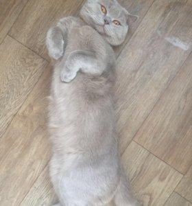 Шотландский кот для вязки