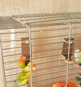 Продам попугайчиков ( неразлучники)+клетка