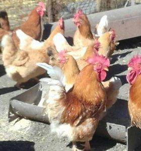 Цыплята мини мясных кур