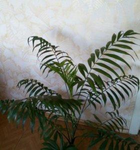 Пальма-хамедорея.