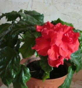 Гибискус-китайская роза,черенки укорененные.