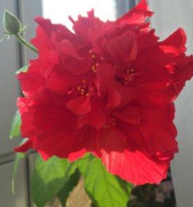 Гибискус (китайская роза) красный махровый