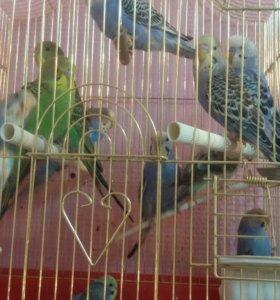Малыши волнистого попугайчика