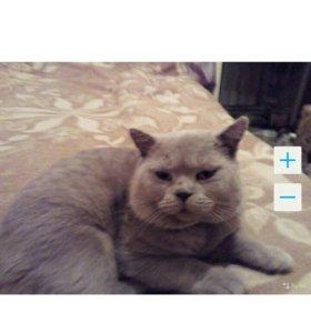 Вязка британского,плюшевого кота