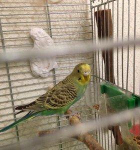 Волнистый попугай 4-5 мес