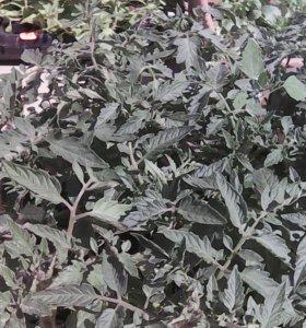 Рассада томатов, огурцов, перцев