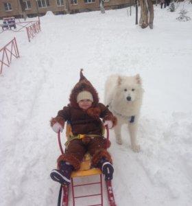 Собака Самоед