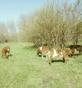 Тёлки и бычки