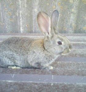 Кролики. Фландр