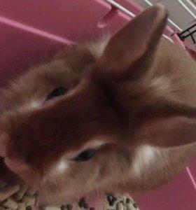 Карликовый кролик.Муж.пол.Имя Яндекс