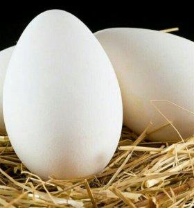гусинные яйца, линда