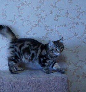 Продаются чистокровные сибирские котята