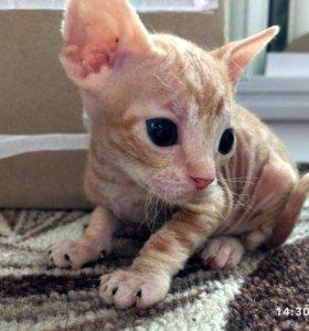 Котятки донской сфинкс