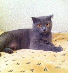 Даром шотландская вислоухая кошка