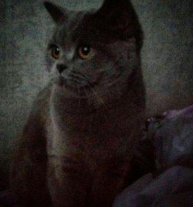 Котята британцы,очень красивые,родились 13апреля