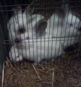 Продаю кроликов, калифорнийской породы