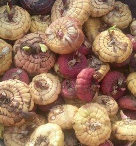 Продам луковицы гладиолусов