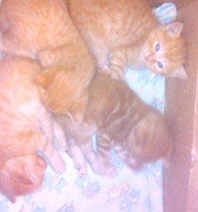Котята от кошки-британки