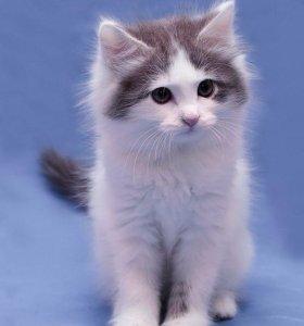 Котёнок Габби, девочка, 1,5 мес.