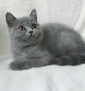 Британские котята с родословной