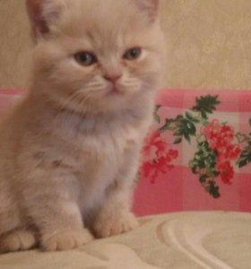 Продаются котята британцы