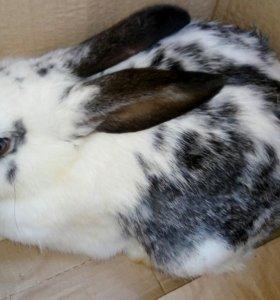 Продам месячных кроликов.