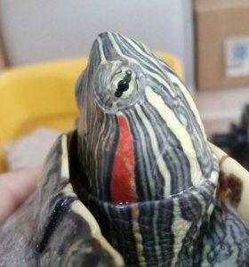 Красноухая черепаха + камень