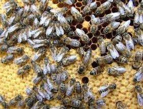 Пчёлы, пчелосемья