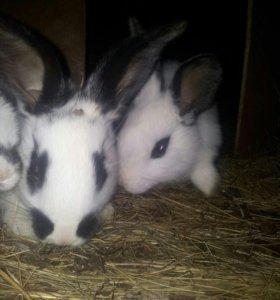 Продам кроликов породы бабочки и великаны.