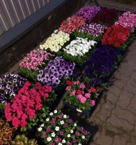 Цветы оптом и в розницу (петуния и т.д)