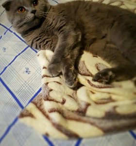 Вязка с шотландским вислоухим котом!😸