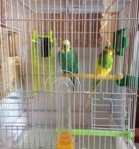 Попугай- самка вместе с клеткой