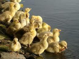 Цыплята бройлеры, гусята Линда,Утята Мулард