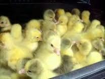 Цыплята мясной породы