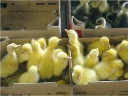 Гуси, утка,цыплята