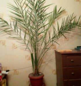 Финиковая пальма 2 метра