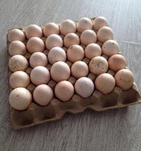 Яйцо инкубационное индейки