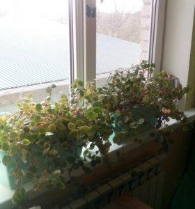 Цветы 250р за 1горшок с цветами.