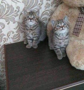 Британские котята!!! Срочно!!!