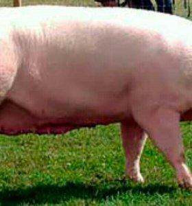 Продается Свинья