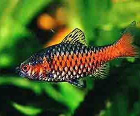Рыбка. Огненный борбус. Самец.