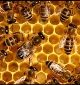 Пчелосемьи среднерусской породы