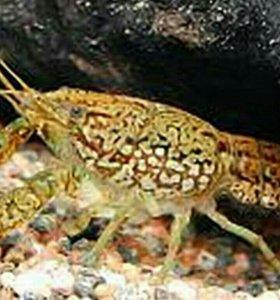 Рак мраморный, аквариумный